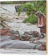 Yawning Hippo Hippopotamus Amphibius Wood Print