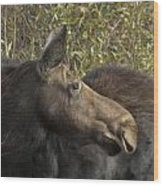 Yearling Calf On Alert Wood Print