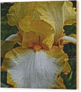 Yellow And White Iris Wood Print
