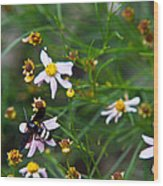 Yellow Banded Black Fly 1 Wood Print