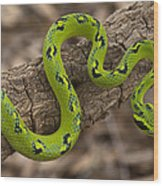 Yellow-blotched Palm Pitviper Wood Print