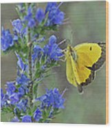 Yellow Cabbage Butterfly Wood Print