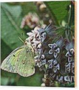 Yellow Cabbage Moth Wood Print