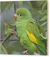 Yellow-chevroned Parakeet Brotogeris Wood Print