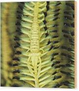 Yellow Commensal Shrimp On Crinoid Wood Print