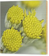 Yellow Cup Buds 1 Wood Print
