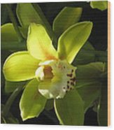 Yellow Cymbidium Wood Print