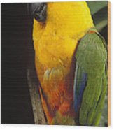 Yellow-faced Parrot Amazona Xanthops Wood Print