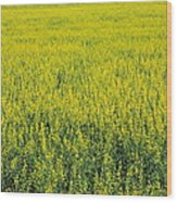 Yellow Field Of Canola Wood Print