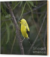 Yellow Finch - Artist Cris Hayes Wood Print