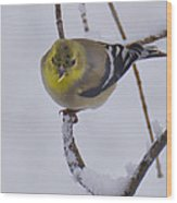 Yellow Finch Cold Snow Wood Print