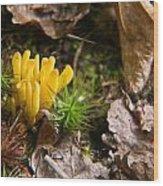 Yellow Fungus 1 Wood Print