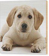 Yellow Lab Puppy Wood Print