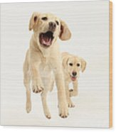 Yellow Labrador Pups Leaping And Running Wood Print