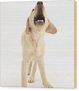 Yellow Labrador Retriever Pup Barking Wood Print