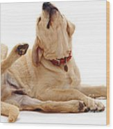 Yellow Labrador Scratching Wood Print