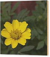 Small Yellow Zinnia Wood Print