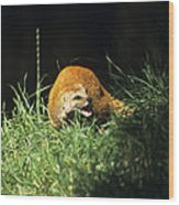 Yellow Mongoose Wood Print