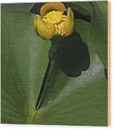 Yellow Pond Lily Wood Print