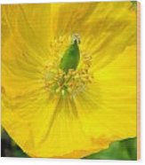 Yellow Poppy In Bloom Wood Print
