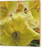 Yellow Rhododendron Trio Wood Print