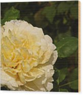 Yellow Rose Water Drops Wood Print