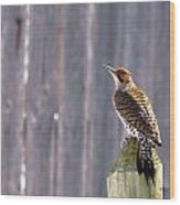Yellow-shafted Flicker Posing Wood Print