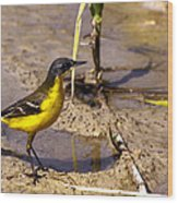 Yellow Wagtail Wood Print
