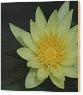 Yellow Waterlily - Nymphaea Mexicana - Hawaii Wood Print