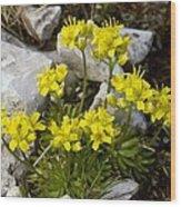 Yellow Whitlow-grass (draba Aizoides) Wood Print