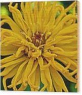 Yellow Zinnia_9480_4272 Wood Print