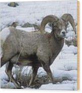 Yellowstone Big Horn Sheep Wood Print