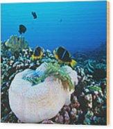 Yellowtail Anemonefish By Their Anemone Wood Print