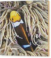 Yellowtail Anemonefish In Its Anemone Wood Print