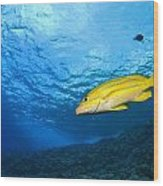 Yellowtail Snapper, Molokini Crater Wood Print