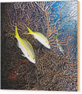 Yellowtail Snappers And Sea Fan, Belize Wood Print