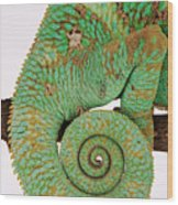 Yemen Chameleon, Close-up Of Coiled Tail Wood Print