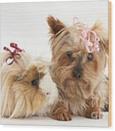 Yorkshire Terrier And Guinea Pig Wood Print