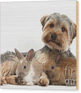 Yorkshire Terrier Dog And Baby Rabbits Wood Print