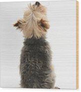 Yorkshire Terrier Wood Print