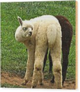 You Can't Sneak Up On Alpacas Wood Print