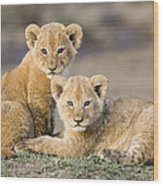 Young African Lion Cubs  Wood Print