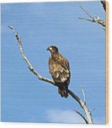 Young Bald Eagle Wood Print