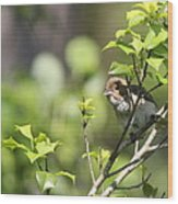 Young Blue Grosbeak Wood Print