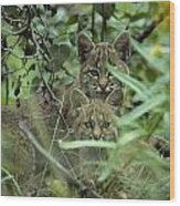 Young Bobcats Wood Print by Michael S. Quinton