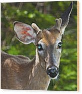 Young Buck 2 Wood Print