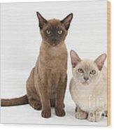 Young Burmese Cats Wood Print