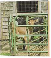Young Calf In Fence Pen Near Barn Summer Maine Wood Print