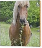 Young Chestnut Icelandic Horse Wood Print