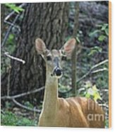 Young Doe At Side Of The Road Wood Print